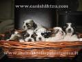 Cucciolo di shih-tzu-umbria-villa-trottolina-di-pinvihok-suphaphit-7515