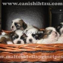 Cucciolo di Shih Tzu