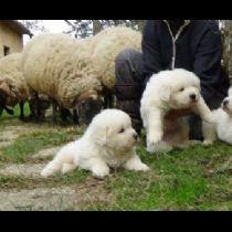 Cucciolo di Pastore Maremmano-Abruzzese