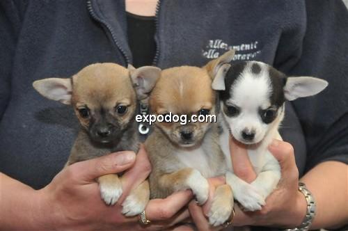 Chihuahua (a pelo corto) cuccioli in vendita