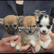 Cucciolo di Chihuahua (a pelo corto)