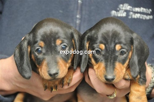 Bassotto a pelo corto cuccioli in vendita