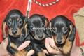 cucciolo bassotto-a-pelo-corto-emilia-allevamento-della-fioravanta-8440