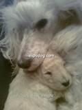 cucciolo barbone-nano-piemonte-of-crazy-sissy-s-home-allevamento-riconosciuto-enci-fci-9253