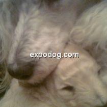 Cucciolo di Barbone (nano)