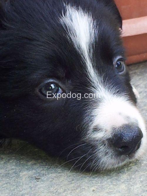 Border Collie cuccioli in vendita